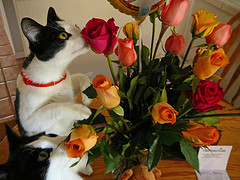 Even kitties prefer the smell of roses.  (Photo Credit: Melvin T. Schlubman on Flickr)