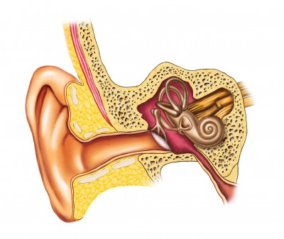 Anatomy of the Vestibular System-Inner Ear - Geaux to Physical Therapy℠